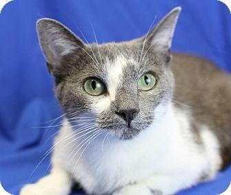 Domestic Shorthair Cat for adoption in Winston-Salem, North Carolina - Shant