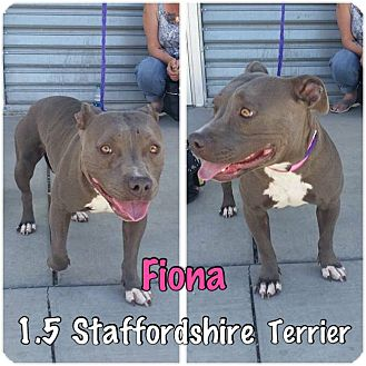 Staffordshire Bull Terrier Mix Dog for adoption in Duchess, Alberta - Fiona