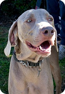 Weimaraner Dog for adoption in Sun Valley, California - Cody