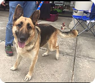 German Shepherd Dog Dog for adoption in Fort Worth, Texas - Izzy