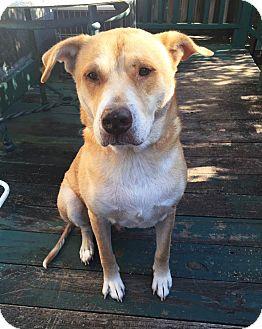 Bulldog/Retriever (Unknown Type) Mix Dog for adoption in Savannah, Georgia - Boy