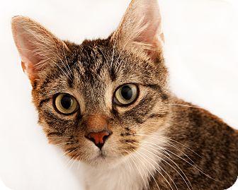 Domestic Shorthair Cat for adoption in Chaska, Minnesota - Peter