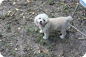 Poodle (Miniature) Dog for adoption in Jennings, Oklahoma - Popper