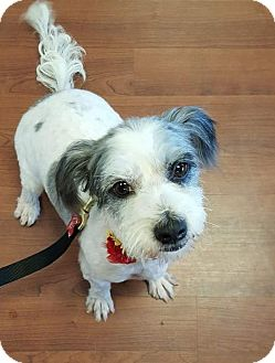 Havanese/Terrier (Unknown Type, Small) Mix Dog for adoption in Rancho Santa Fe, California - Joy