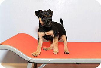 German Shepherd Dog Mix Puppy for adoption in Jupiter, Florida - Luke