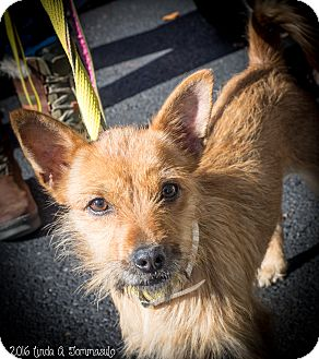"""Terrier (Unknown Type, Small) Mix Dog for adoption in Loudonville, New York - Ichabod """"Izzy"""""""