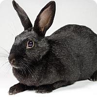 Adopt A Pet :: Midnight - Kingston, ON