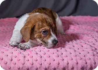 Bulldog/Basset Hound Mix Puppy for adoption in Newtown, Connecticut - Dakota