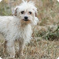 Adopt A Pet :: Sammy Davis jr - Auburn, CA