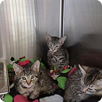 Adopt A Pet :: Kittens - Bridgewater, NJ