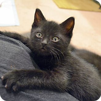Domestic Shorthair Kitten for adoption in Mississauga, Ontario, Ontario - Samanta
