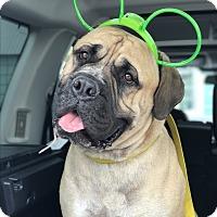Adopt A Pet :: Zeus - Van Nuys, CA