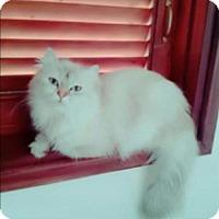Adopt A Pet :: Mika Purrsian - Norwalk, CT