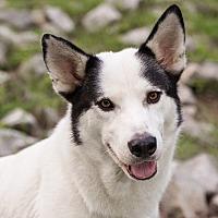 Adopt A Pet :: SUKA - Knoxville, TN