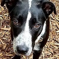 Adopt A Pet :: Cassie-Fostered in St. Paul - Ada, MN