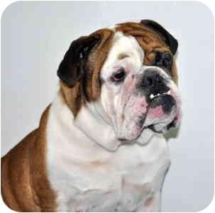 English Bulldog Dog for adoption in Port Washington, New York - Butch
