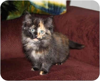 Domestic Longhair Kitten for adoption in Brighton, Michigan - Lily