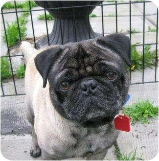Pug Dog for adoption in Ile-Perrot, Quebec - NOGGIN'
