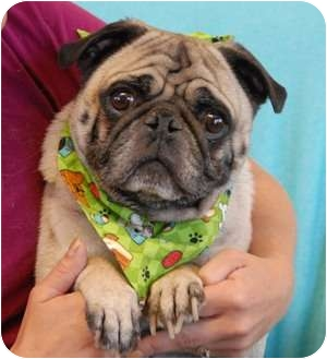 Pug Dog for adoption in Las Vegas, Nevada - Fred