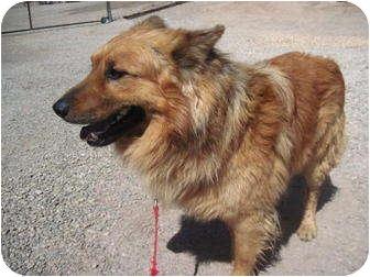 German Shepherd Dog/Collie Mix Dog for adoption in Alamogordo, New Mexico - Charly