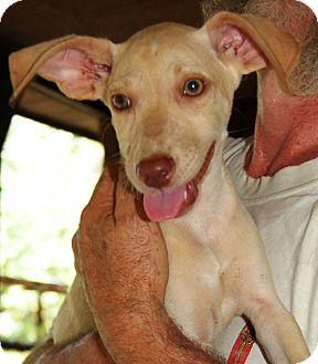 Weimaraner Mix Puppy for adoption in Foster, Rhode Island - Gretel