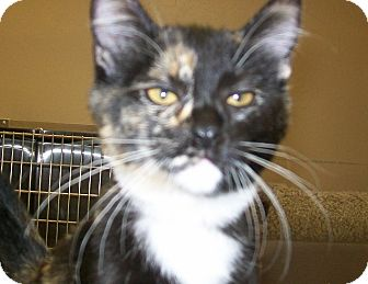 Domestic Shorthair Cat for adoption in Grants Pass, Oregon - Cashew