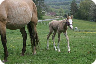 Quarterhorse Mix for adoption in Somerset, Pennsylvania - Briya
