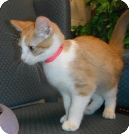 Domestic Shorthair Kitten for adoption in Jackson, Michigan - Herman
