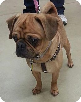Pug/Beagle Mix Dog for adoption in North Olmsted, Ohio - Rocky