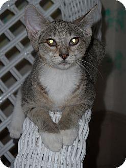Domestic Shorthair Kitten for adoption in Tarboro, North Carolina - Maya
