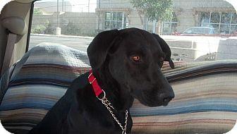 Labrador Retriever/Labrador Retriever Mix Dog for adoption in Malibu, California - TULA