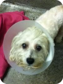Bichon Frise/Poodle (Miniature) Mix Dog for adoption in Los Angeles, California - Estrella - I do not shed!