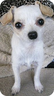 Terrier (Unknown Type, Small)/Chihuahua Mix Puppy for adoption in Encino, California - Jolie
