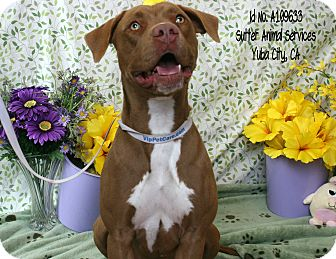 American Pit Bull Terrier Mix Dog for adoption in Yuba City, California - 03/15 Cider