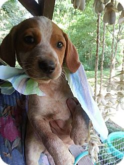 Beagle/Halden Hound (Haldenstrover) Mix Puppy for adoption in Laingsburg, Michigan - Red