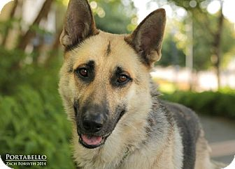German Shepherd Dog Dog for adoption in Portland, Oregon - Portobello