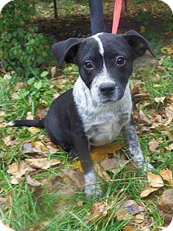 Australian Cattle Dog/Labrador Retriever Mix Puppy for adoption in Minneapolis, Minnesota - Little Man