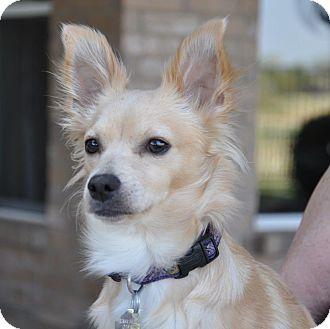 Pomeranian Mix Puppy for adoption in Dallas, Texas - Khloe