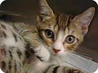 Domestic Shorthair Cat for adoption in Miami, Florida - Simon