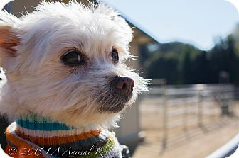 Maltese/Terrier (Unknown Type, Small) Mix Dog for adoption in Los Angeles, California - Owen
