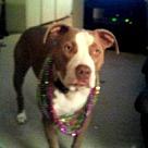 Adopt A Pet :: Dozer - Denton, TX