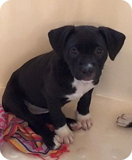Pit Bull Terrier/Labrador Retriever Mix Puppy for adoption in Jacksonville, Florida - Amelia