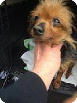 Pomeranian Mix Dog for adoption in Hearne, Texas - Coralie