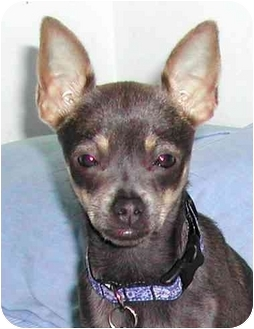 Chihuahua Dog for adoption in Rolling Hills Estates, California - Isabelle