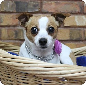 Chihuahua/Rat Terrier Mix Dog for adoption in Benbrook, Texas - Holly
