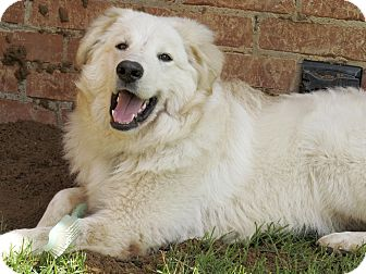 Great Pyrenees/Golden Retriever Mix Dog for adoption in Tulsa, Oklahoma - Victor  *Adopted