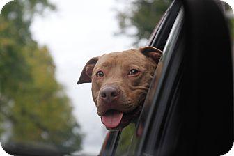 Weimaraner/Terrier (Unknown Type, Medium) Mix Dog for adoption in Walden, New York - Hennessy