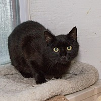 Domestic Shorthair Cat for adoption in Chicago, Illinois - David