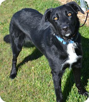 Border Collie Mix Dog for adoption in Fruit Heights, Utah - Cosmo