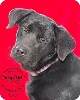 Labrador Retriever Mix Puppy for adoption in Union Springs, Alabama - Drako